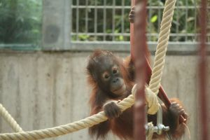 zoo orangutan cute animal baby
