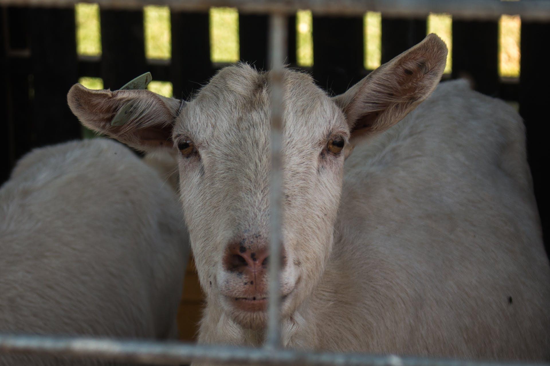 domestic goat animal farm goat animal farming