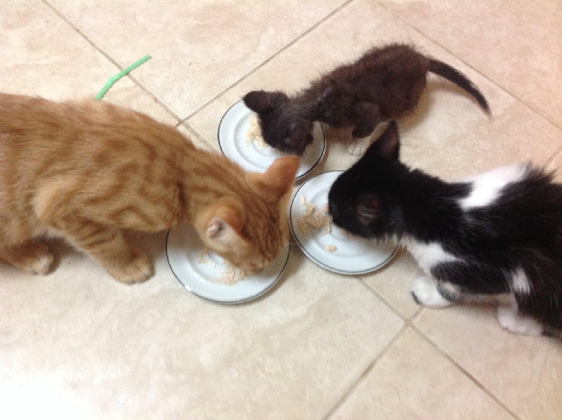 kitten kittens eating animal cats animal photography