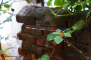 anamalia blue insect colourful brick paving nature mother nature orange insect red insect dragonfly insect