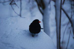 animal inter blackbird cold scotland winter black bird snowfall frozen snowing