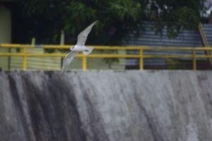 animal photography animal naga city bicol bird flying nikon nikon photography bicol river