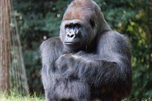 animal photography wild animal zoo gorilla animal ape wildlife primate