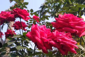 beautiful rose natural