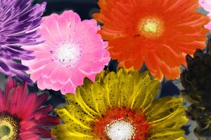 blooming petals daisies close-up bloom blossom flora colors art flowers