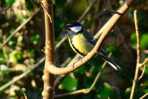 blue tit garden bird dawn good morning