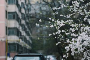 cherry blossoms beautiful branch blur season petals growth spring flower blossom flora