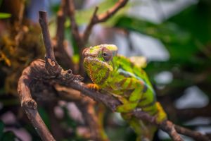 close-up green tropical animal wood lizard wild exotic chameleon rainforest