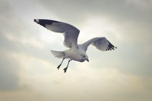 cloudy freedom flying gull feathers sea animal flight water clouds