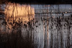 cold reed sunrise