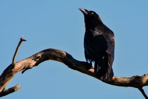 crow brown starling daylight feathers sky perched black bird black side view
