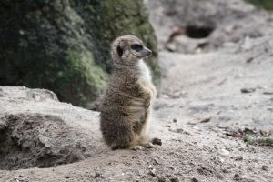cute animal furry meerkat baby