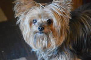 cute dog yorkshire terrier dog cute cute animals terrier yorkie