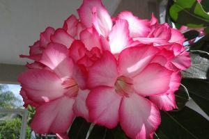 desert rose flower green beauty
