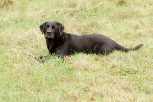 dog pet labrador black labrador animal field