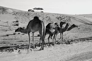 dry vehicle transportation system daylight mammals wildlife daytime desert sand camels