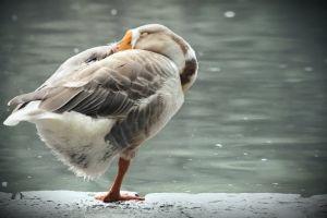 duck bird animal photography peaceful landscape