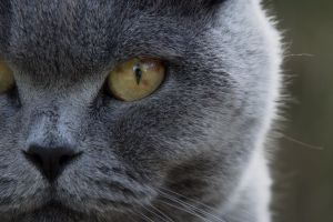 eyes focus animal grey mammal close-up cat nose feline domestic cat