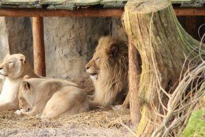 family lions mane animal resting