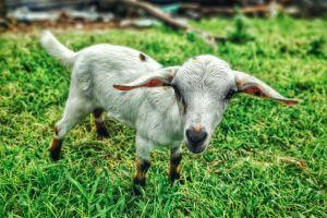 farm animal grass animal farm goat grass land