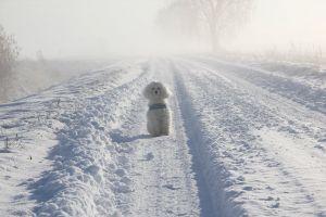 finland snow white poodle valkoinen winter talvi lumi poodle suomi pelto
