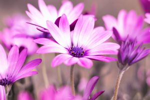 flora blooming flowers purple bloom growth garden purple flowers focus african daisy