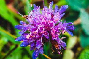 flower bulgaria purple