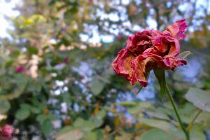 flower field pink flower green pink rose red rose garden garden dead rose dry rose rose
