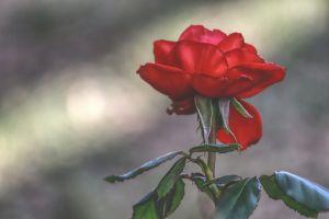 flower rose red plants
