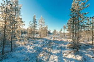 freezing frost sunrays trees winter evergreen season frosty winter landscape snowy
