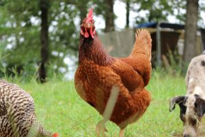fresh farming dry grass grass free range healthy chicken eggs green animal