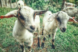 grass animals pasture herd livestock goats landscape domestic blur grassland
