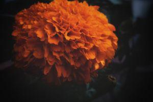 green leaf orange marigold hdr flower garden beautiful flowers hd wallpaper blurr blurred black background