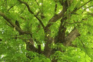 green leaves forest chestnut green