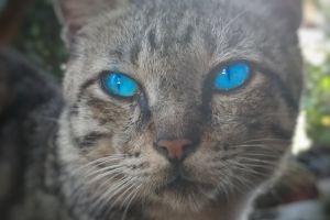grey cat blur blue eye