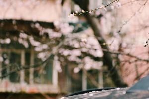 growth winter branches flowers season scenic tree blur street cherry blossoms
