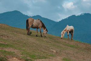 landscape horse hill zebra wild animal hillside grassland scenic mammal