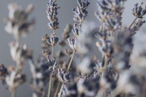 lavenders herbal petals macro growth focus season blossom blur delicate