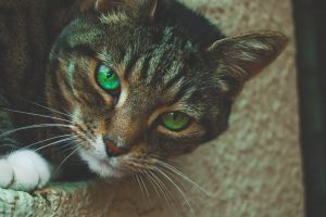 looking green mammal hair animal photography kitten cute domestic cat cat face whiskers
