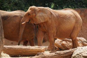 mammals wild logs elephant zoo ivory huge tusk endangered large