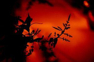 mango flower flower night