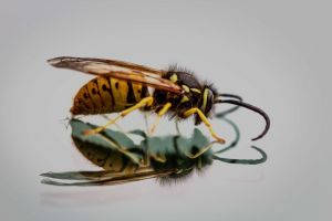 mirror macro little wings color wasp insect honeybee animal reflection