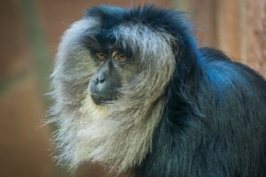 monkey mammal wild animal photography primate wildlife wood fur safari nature