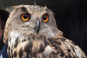 natue animal bird of prey owl