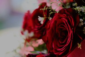 natural red beauty rose red red rose beauty nature