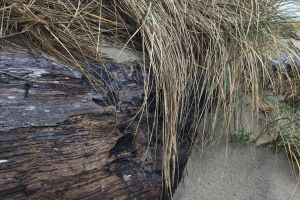 oregon seagrass beach ocean
