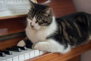 pet pretty piano cat cute