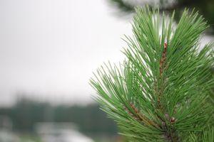 pine xmas tree plant blurred blurred background christmas tree green macro pine needle tree