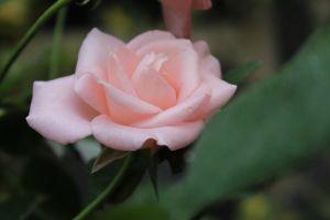 pink flower pink rose rose beautiful flower flower beautiful rose
