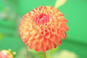 plant petals flower petal flora blossom dahlia hd wallpaper bloom